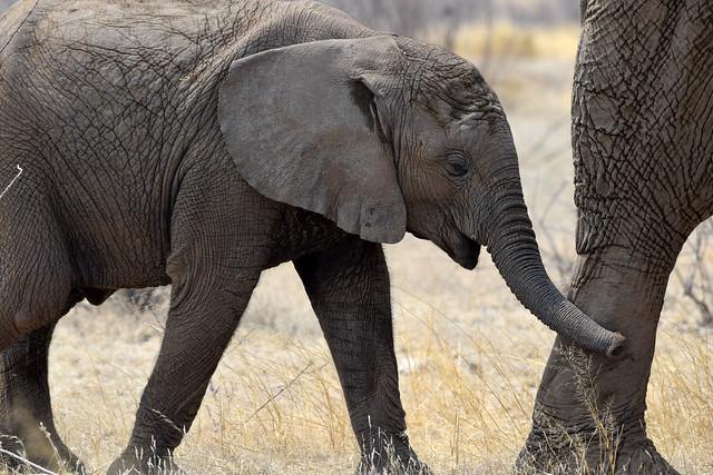 African Elephant (Loxodonta africana), Etosha NP, Oshikoto Region, Namibia