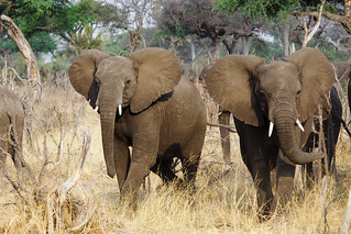 Elephants on the way to the watering place | by www.holgersbilderwelt.de