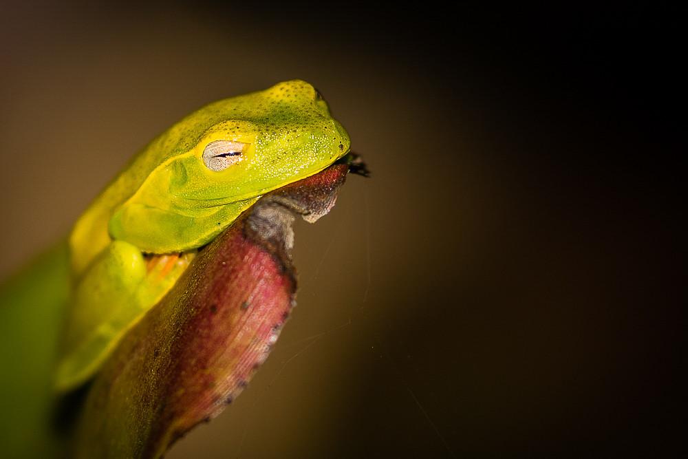 Perereca-araponga (Hypsiboas albomarginatus)