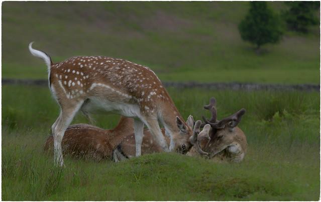 Family of Deers.