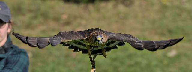 Petite Buse ---   Broad-winged hawk --- águila aliancha