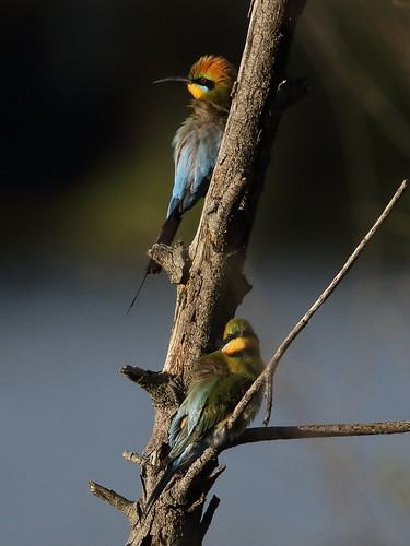 Rainbow Bee-eaters at Tom Bateman Reserve | by WA47