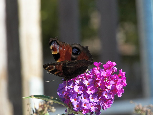 butterfly_tagpf