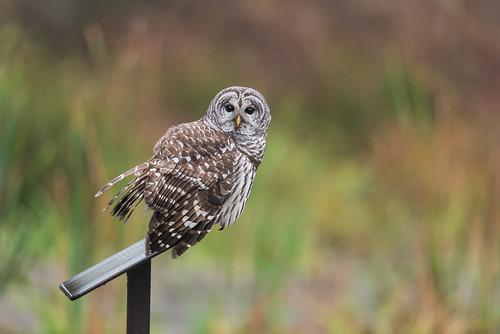 greatswampnwr autumn wildlife color owl perch nature eyes birdsofprey colors barredowl strixvaria raptor swamp bird gillette newjersey unitedstates us