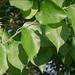 Naranjo de Luisiana - Photo (c) Amadej Trnkoczy, algunos derechos reservados (CC BY-NC-SA)