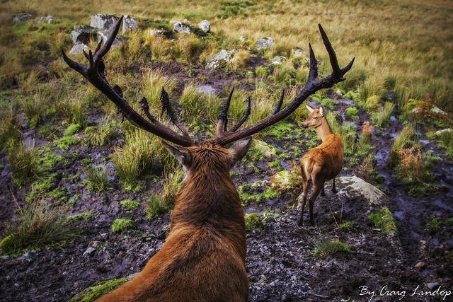 wild Scottish red dear