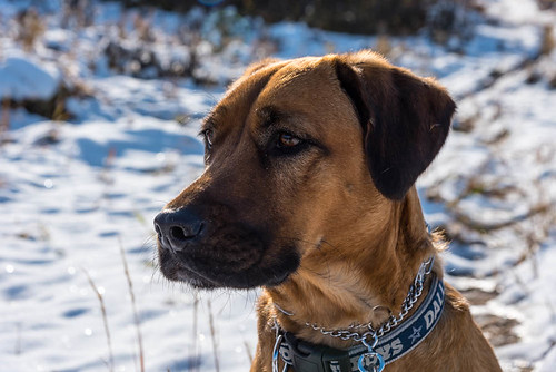 Black Mouth Cur   by www.higbyphotography.com