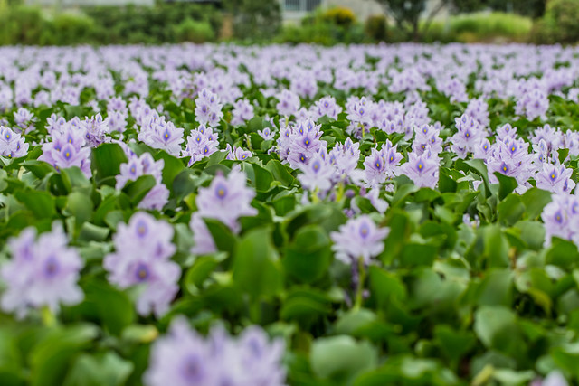 Water Hyacinth 本薬師寺跡のホテイアオイ