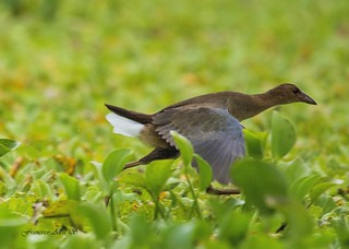 Gallareta Azul, Purple Gallinule (Porphyrio martinica) Juvenil | by Francisco Alba Suriel