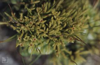 Philonotis fontana male plant, Llanerch, 1979