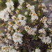 Coyote Brush - Photo (c) Dana L. Brown, some rights reserved (CC BY-NC-SA)