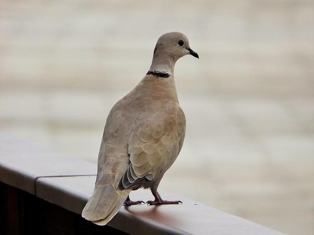 Just a dove / Solo una paloma