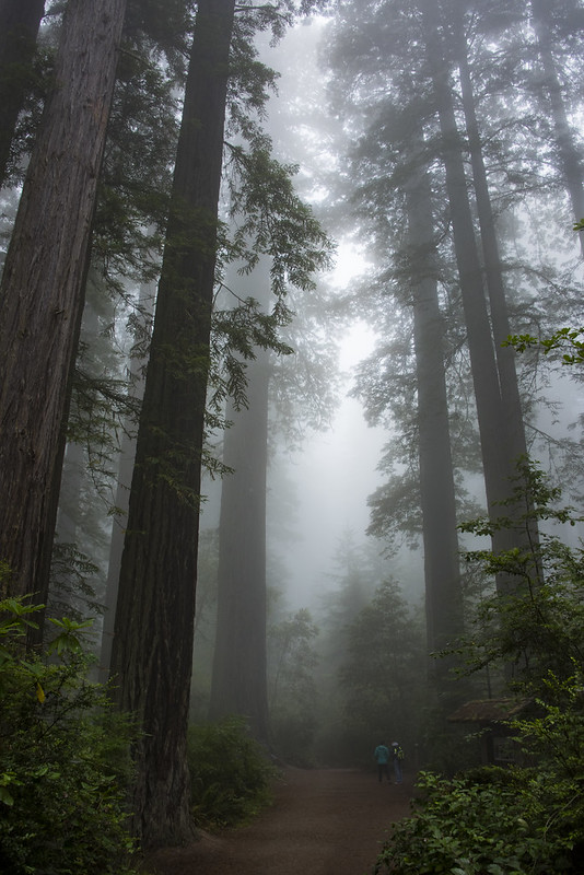 Redwoods in the Mist