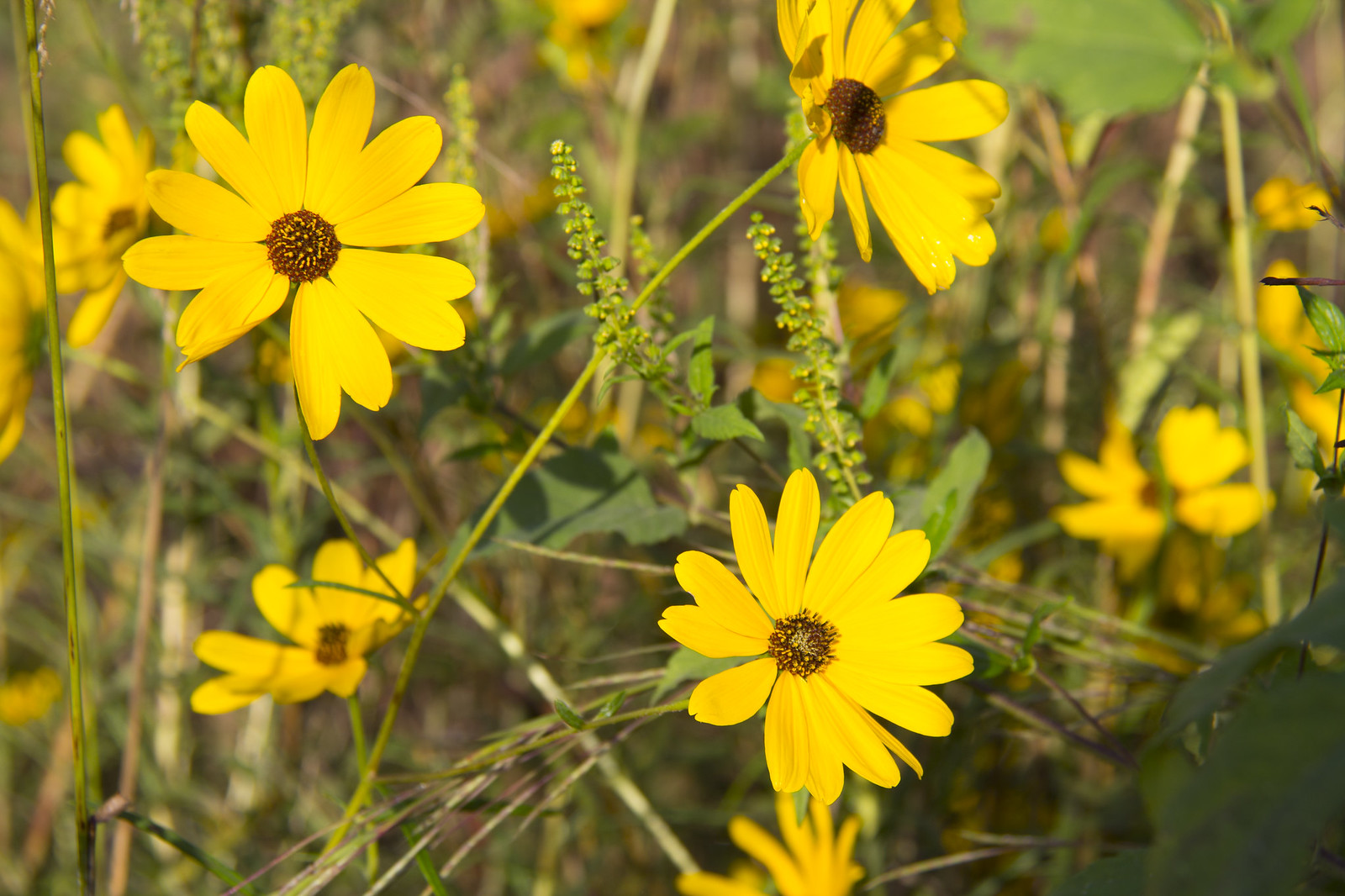 Swamp Sunflowers_5