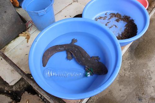 Chinese giant salamander (Andrias davidianus) | by Nature.Catcher