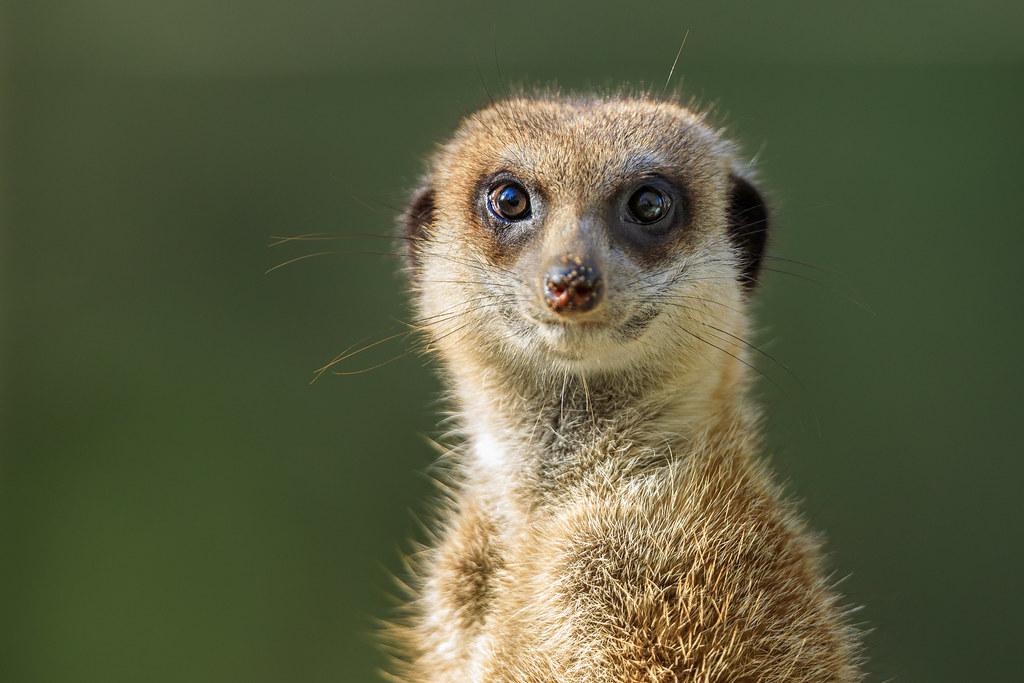 Image: Wide-Eyed Meerkat