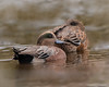 American Wigeon Pair (Anas americana) - Spring Lake, New Jersey by JFPescatore