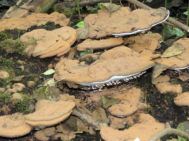Platte tonderzwam ( Ganoderma lipsiense )
