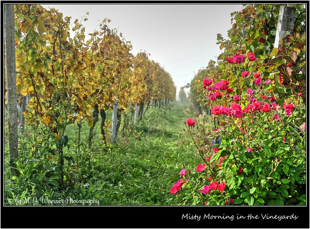 Misty Morning in the Vineyards 5/5