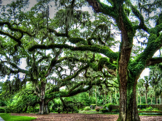 Oak Trees of Brookgreen Gardens