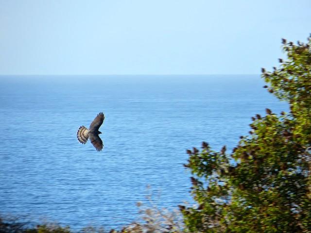 hawk flyby on Malibu coast