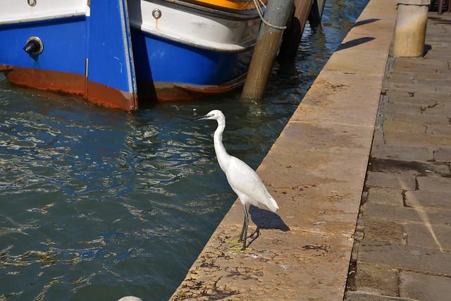 Venezia Cannaregio / Aigrette Garzette / Egretta Garzetta / Little Egret - 2/3