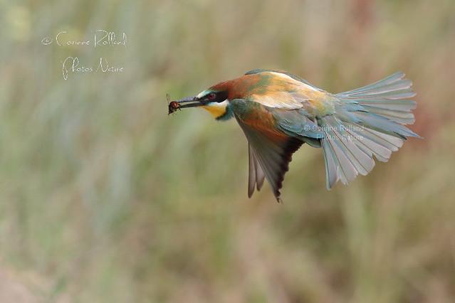 Guêpier d'Europe ( Merops apiaster ) - European Bee-eater #1366