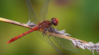 red dragonfly on sedge seed head | by piggsyface