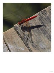 Damsel fly, Laos