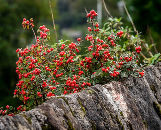 Autumnal Red Berries, Moss and Lichen, and a Stone Wall | by Rookie Phil