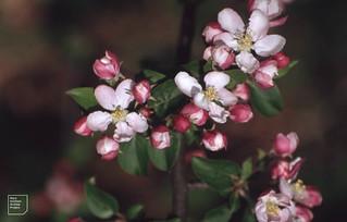 Flowers of yellow apple. Gelli Quarry. Fforest Fach. 1995