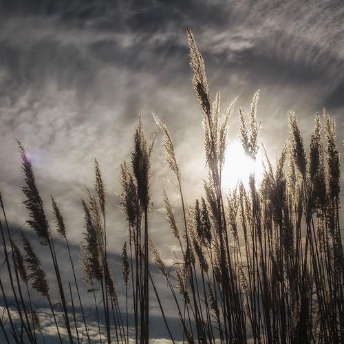 Pampas Grass, Platte River State Park near Omaha   by Charles G. Haacker