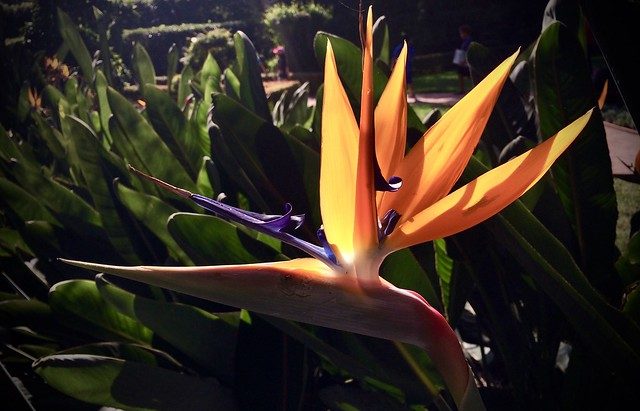 Bird-of-paradise lily