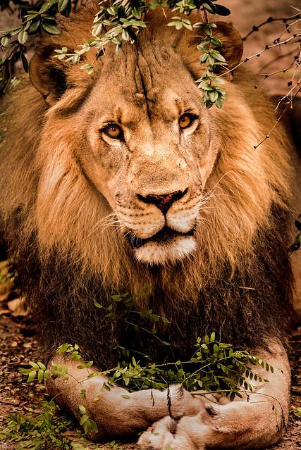 Posing Male Lion 3-0 F LR 9-16-17 J575