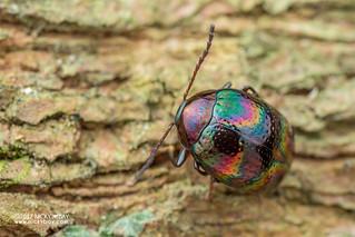 Darkling beetle (Amarygmus recordativus) - DSC_0854