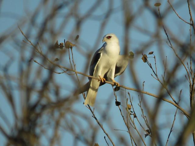 White-tailed Kite at Ballona Wetlands