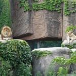 Chicago, Lincoln Park Zoo, Lion Pair Reigning over a Small Empire