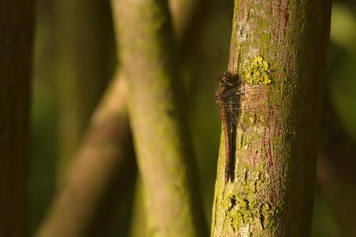 libelle heidelibelle commondarter sympetrumstriolatum dragonfly ngc npc