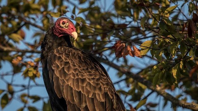 Somebody's favorite bird…Turkey Vulture