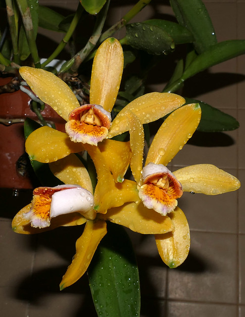 Cattleya forbesii 'Equilab' species orchid