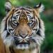 Image: Sumatran Alertness