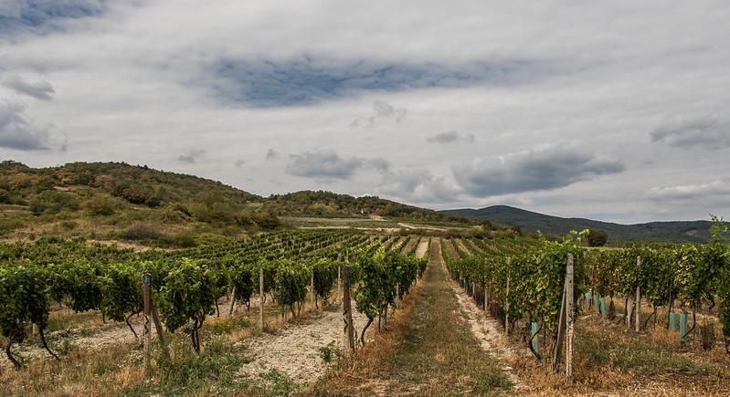 Vineyards from Modra, Slovakia