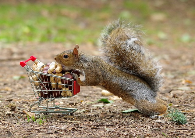 squirrel with shopping cart full of nuts. (10)