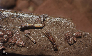 14 types Caddis larvae. Nant Llanerch. 1970
