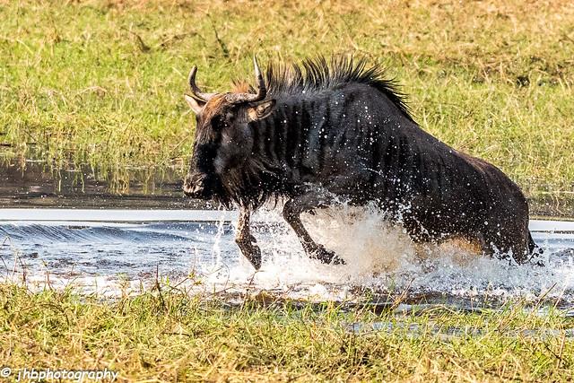 Wildebeest - Chief's Island, Okavanga Delta, Botswana, Africa - Summer 2017-364.jpg