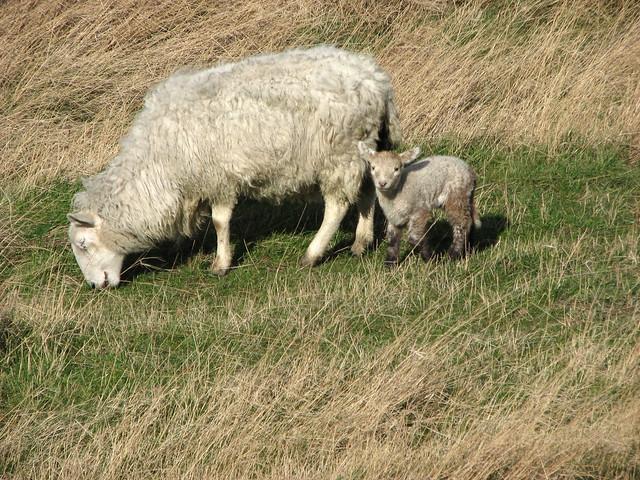 Lamb near North Fambridge