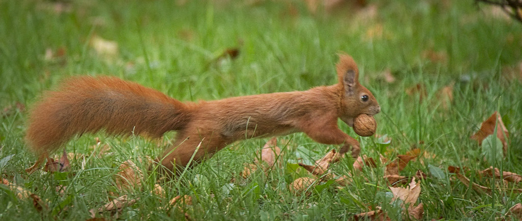 A photograph of a squirrel running.