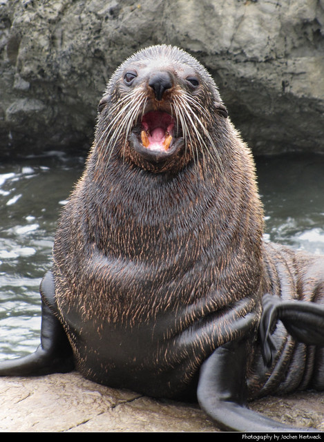 Angry Seal, New Zealand