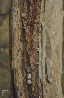 Helix aspersa hibernating under loose bark (removed from dead Acer), Trwyn y Witch, 1974
