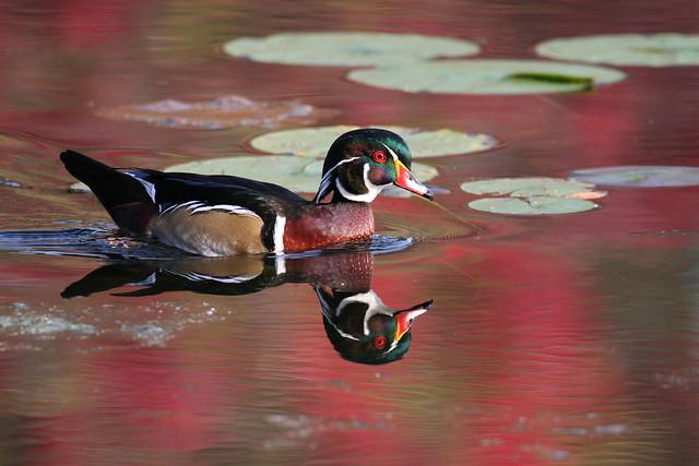 *** Wood duck / canard branchu ( male )